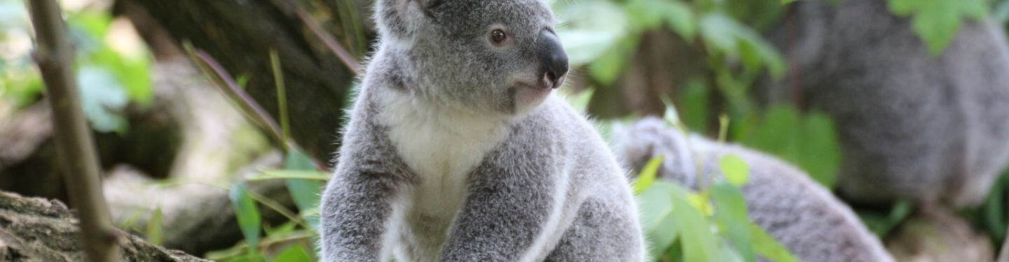 Nature Talks in the Library - Koala Conservation